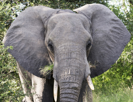 big elephant in national kruger wild park south africa near hoedspruit at te orphan gate photo