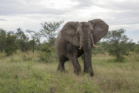 big elephant in national kruger wild park south africa near hoedspruit at te orphan gate photo
