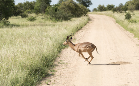 running impala crossing the road in kruger national park south africa photo