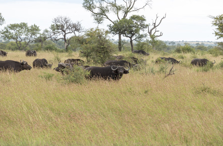 group buffela in national kruger park south africa photo
