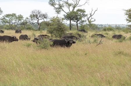 grazer: group buffela in national kruger park south africa