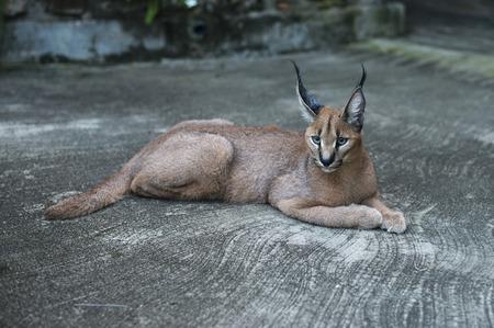 lynx gato montés en sudáfrica áfrica