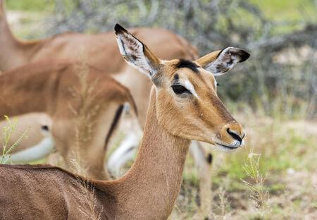 female impala kruger national park south africa photo