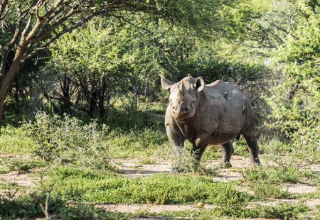 black rhino one of the big 5 animals at the kruger national park in south africa