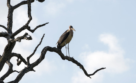 south africa nature: marabou in tree south africa nature