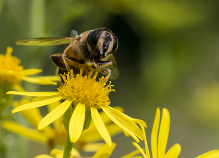 mellifera: yellow blossom with bee insect looking for honey Stock Photo