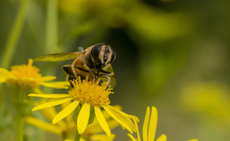 producing: yellow blossom with bee insect looking for honey Stock Photo