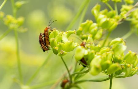 militaire sexy: quelques Cantharidae rouge insecte faire l'amour sur une fleur