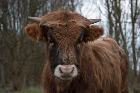 steers: head of young galloway cow looking direct into camera Stock Photo
