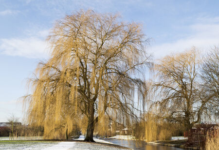 salix: big Salix babylonica in winter landscape Stock Photo