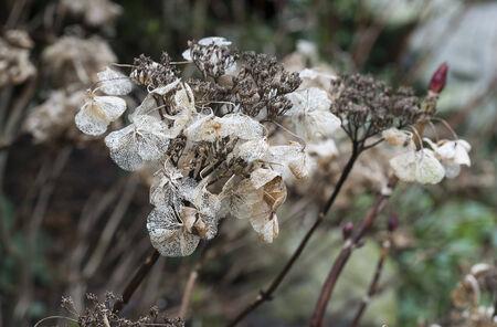 dead flowers: dead flowers in winter from the hydrangea