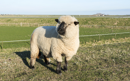 hampshire: hampshire down sheep with thick coat of wool on green grass in holland nature on a dike with wide horizon and farm on the background in summer Stock Photo