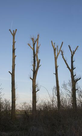 four pruned trees with blue sky as background Stok Fotoğraf