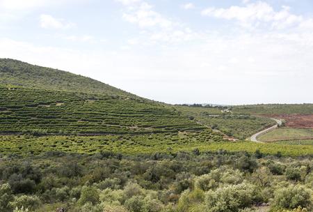 wine grower: vineyard in portugal algarve area