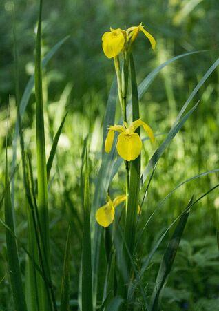 green nature: yellow iris in green nature