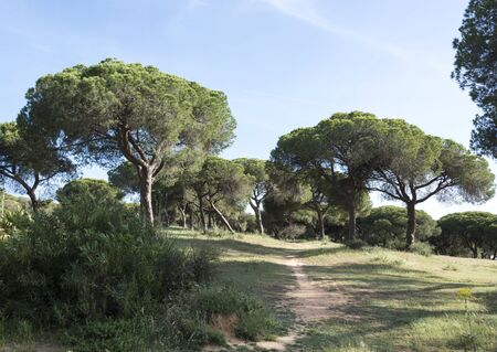 algarve: pine trees in nature algarve