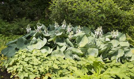 hosta: big group of hosta plants with white flowers in garden