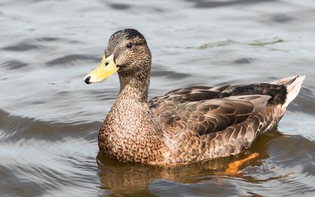 beak: rown duck with yellow beak swimming in water