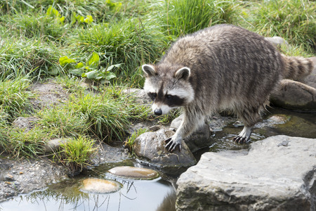 varmint: raccoon walking in the green grass near rocks and water Stock Photo