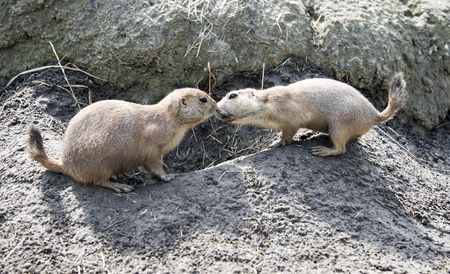 derives: two Cynomys, derives from the Greek for dog mouse Stock Photo