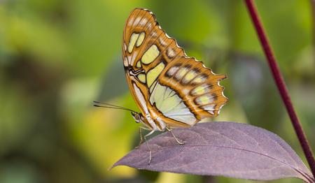 cuba butterfly: malachite butterfly or siproeta stelenes on green background