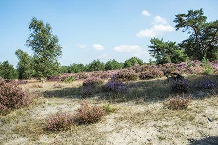 heather: erica heather field in holland near Kootwijk Hooge Veluwe Stock Photo