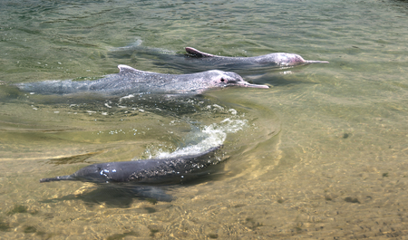 pink dolphin: very rare pink dolphins in  protection area Stock Photo