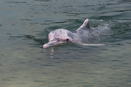 very rare pink dolphin in  protection area