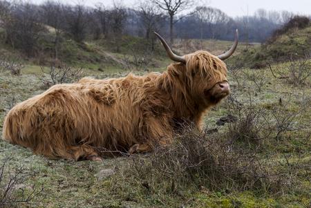 steers: galloway deer in the wild in Holland dunes