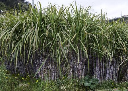 field with sugar cane on madeira island Foto de archivo
