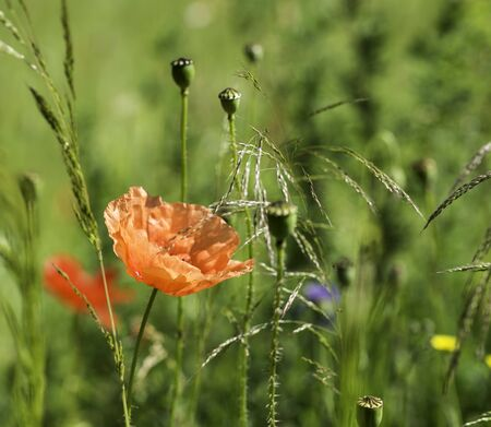 papaver: red papaver poppy flower and other wild flowers Stock Photo