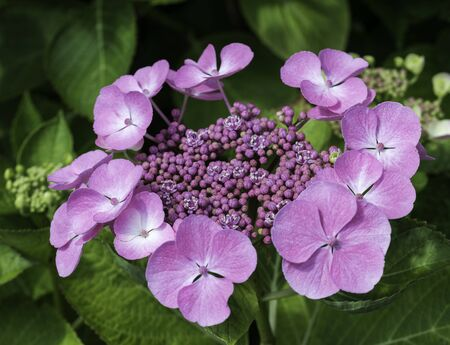 hydrangea macrophylla: pink Hydrangea macrophylla or hortensia flowers in garden