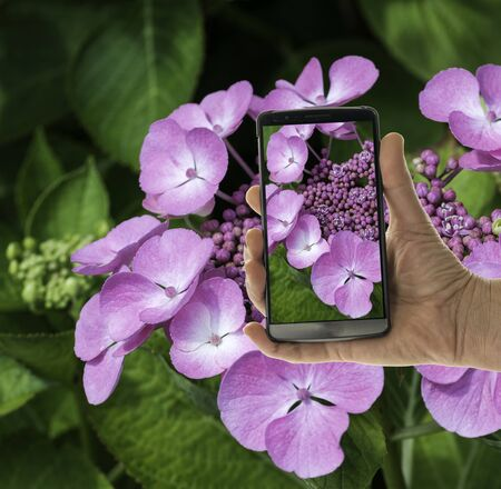 hydrangea macrophylla: female hand with mobile phone looking at hortensia flower