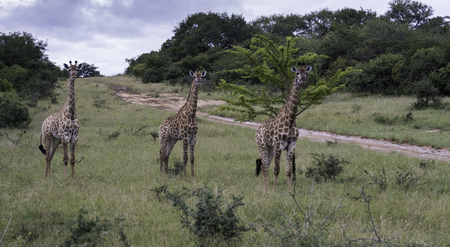 kruger park: giraffe in south africa on safari national kruger park