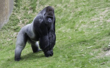 silverback: big gorilla ape showing his power outside on green grass