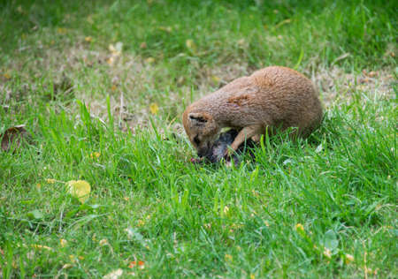 herpestidae: mongoose Herpestidae eating prey on green grass outdoors Stock Photo