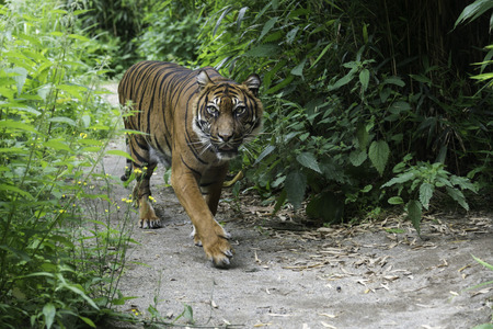 tigresa: caminando tigre de Sumatra (Panthera tigris sumatrae) Foto de archivo