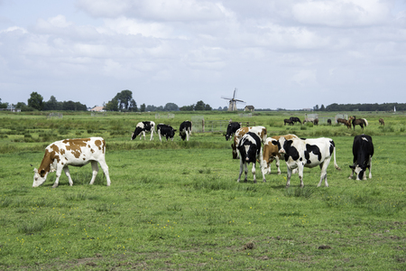 Nature in Friesland, part og Netherlands with black and white and brwon white cows with windmill as background