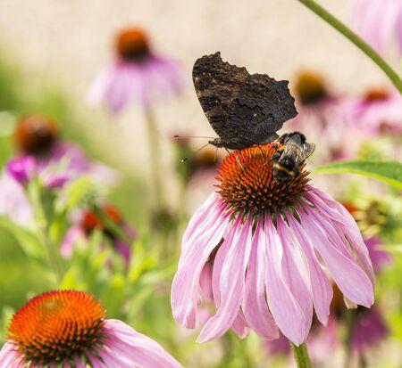 echinacea: butterfly on Echinacea purpurea   in green garden