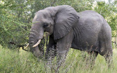 te: big elephant in national kruger wild park with tusks of ivory in  south africa near hoedspruit at te orphan gate Stock Photo