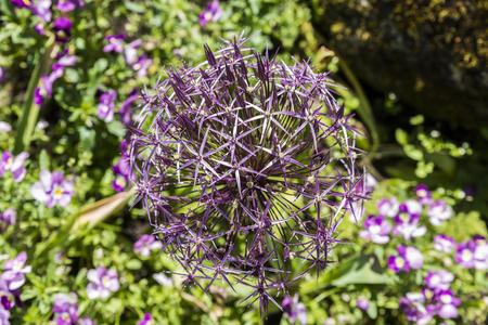 alliaceae: Allium Albopilosum Cristophii in dutch garden