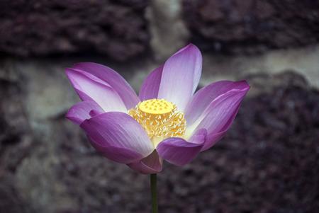 lotus bloem close-up
