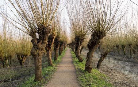 pollard willow in nature in Holland Archivio Fotografico