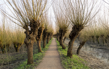 pollard willow in nature in Holland Banque d'images