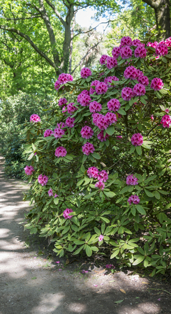 azalea and rhododendron flowers in garden in Holland