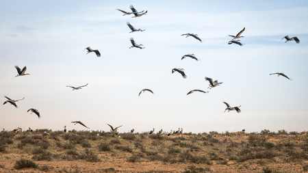Israel, Negev, a flock of migrating storks fly over a cultivated field. Birds are a major pest to farmers Banque d'images