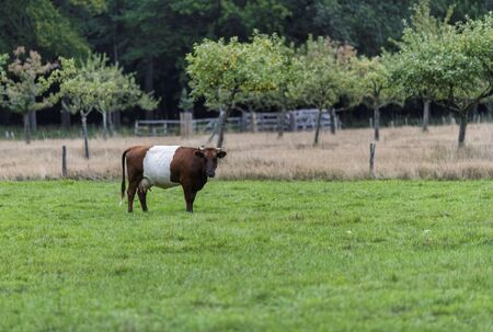 farmstead is named after traditional Dutch cattle de Lakenvelder, meaning the Dutch Belted. A Dutch Belted does not have colored spots and is not monochromatic either as other cattle breeds Reklamní fotografie