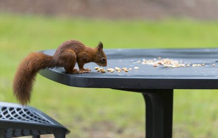 red squirrel looking for seeds and other foods and find peanuts on garden table