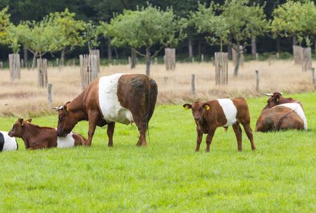 farmstead is named after traditional Dutch cattle de Lakenvelder, meaning the Dutch Belted. A Dutch Belted does not have colored spots and is not monochromatic either as other cattle breeds 스톡 콘텐츠