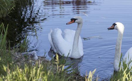 couple of swan in the water with a nest with a young baby swan only days old